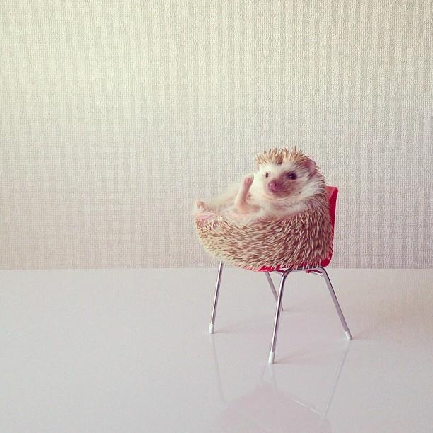 Erizo en silla