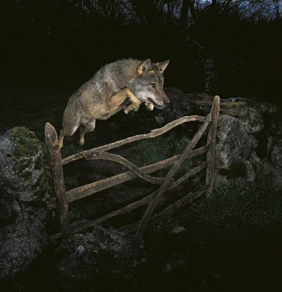 Lobo saltando