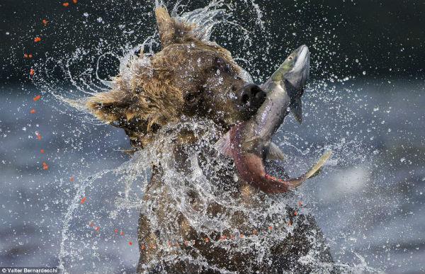 Oso cazando un pez