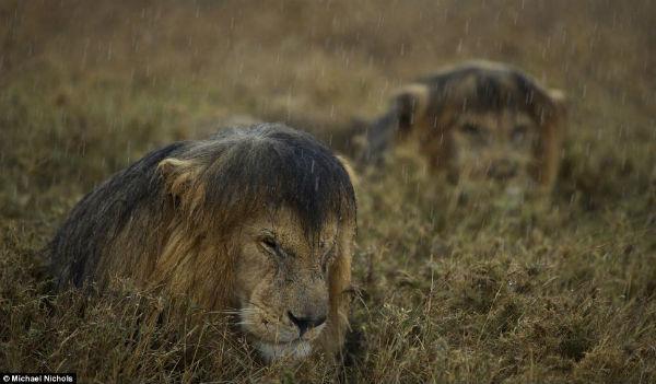 Leones en la lluvia